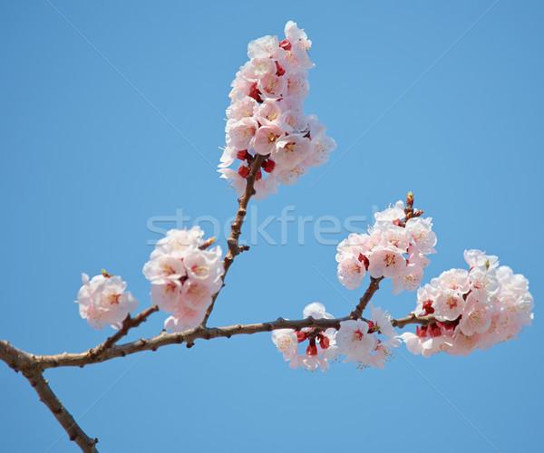 Sakura bloesem tak voorjaar japans blauwe hemel Stockfoto © zastavkin