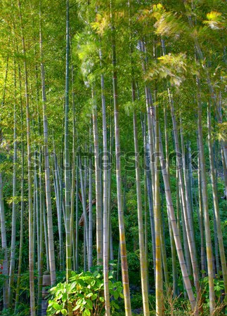 Bambusz liget fa fák zöld ázsiai Stock fotó © zastavkin