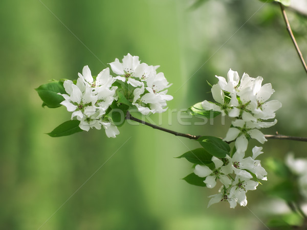 Pear in blossom Stock photo © zastavkin