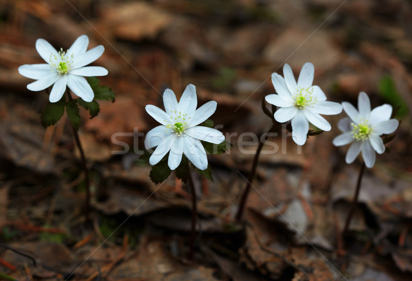 Anemone altaica Stock photo © zastavkin