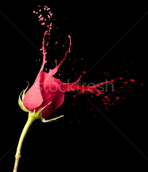 Stock fotó: Piros · rózsa · csobbanások · piros · fekete · virág · művészet