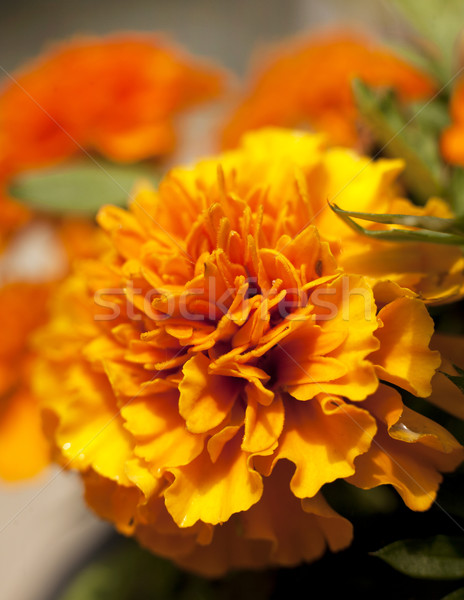 yellow orange flower Marigold Stock photo © zdenkam