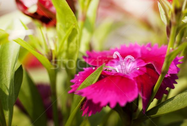 Kicsi magenta virágok mikro lövés rózsaszín Stock fotó © zdenkam