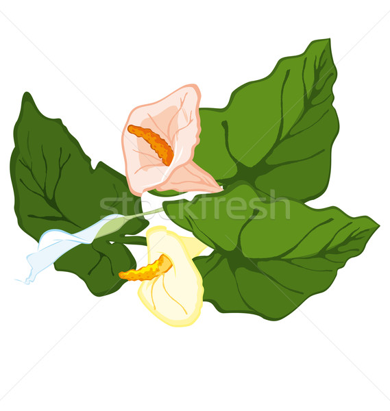 Hand drawn calla lily blooms Stock photo © Zebra-Finch