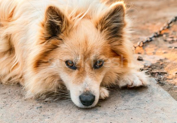 Portrait of a dog on a chain    Stock photo © zeffss
