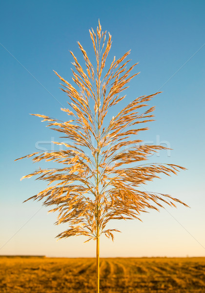 Reed against the sky Stock photo © zeffss