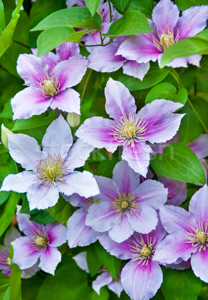 Stock fotó: Lila · virágok · természetes · textúra · természet · fény