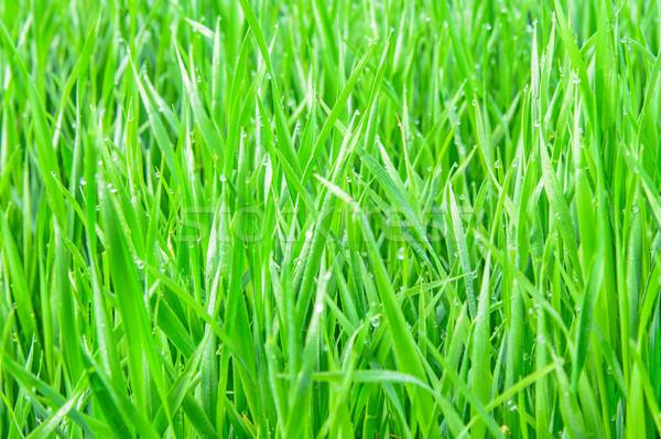 Fresh green grass with water droplet Stock photo © zeffss