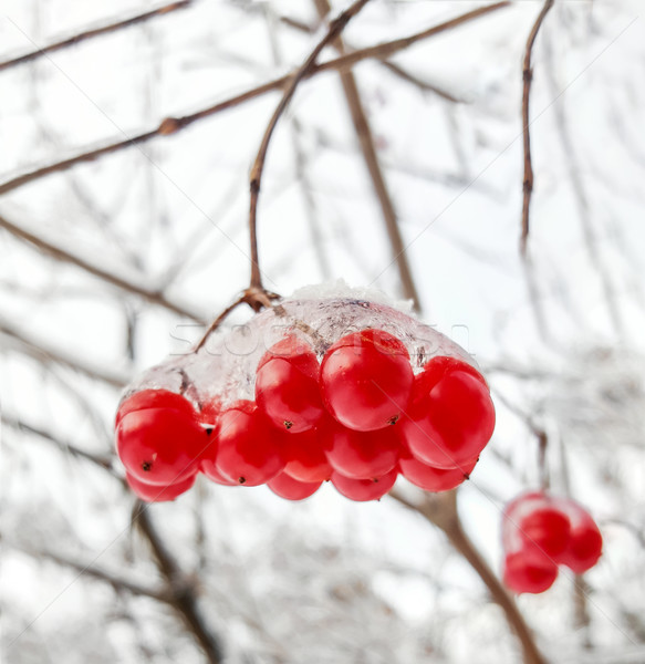 Viburnum branch with red berries in snow Stock photo © zeffss