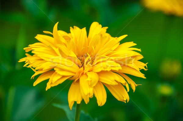 Sárga virág zöld virágok nap kert nyár Stock fotó © zeffss