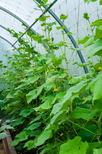 Vad uborkák szegfű üvegház üveg nyár Stock fotó © zeffss