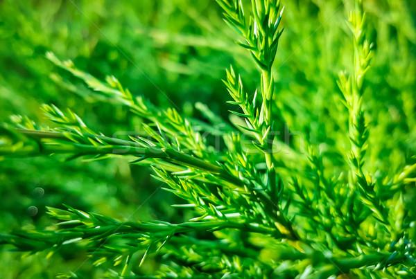 Juniper branch on natural background Stock photo © zeffss