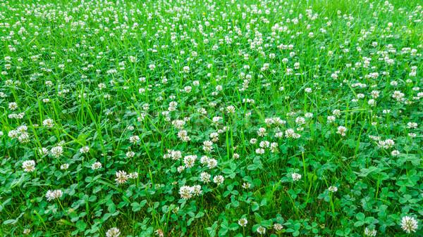 Usine blanche trèfle domaine naturelles Photo stock © zeffss