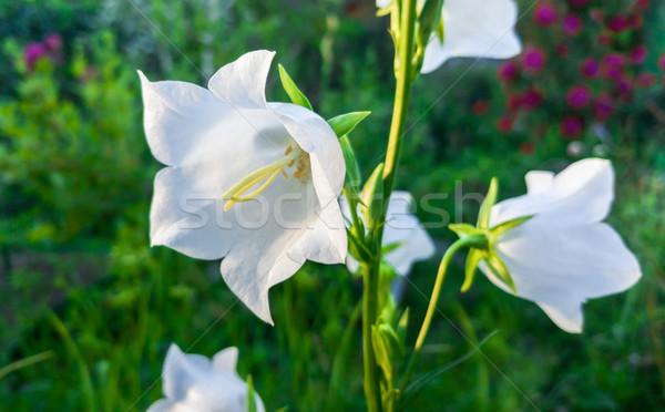 White flower harebell Stock photo © zeffss