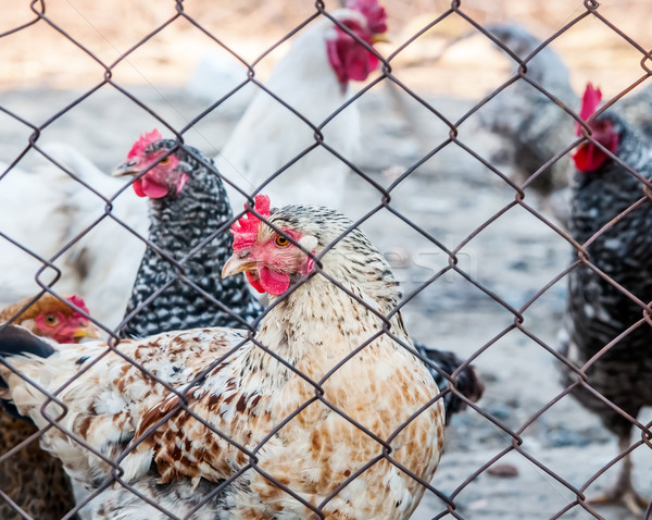 Chickens on poultry farm  Stock photo © zeffss