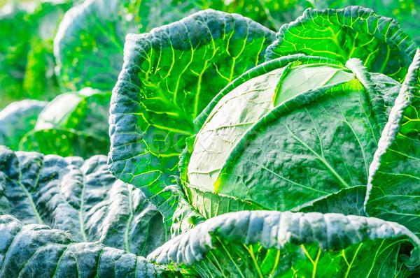 クローズアップ 新鮮な キャベツ 野菜 庭園 水 ストックフォト © zeffss