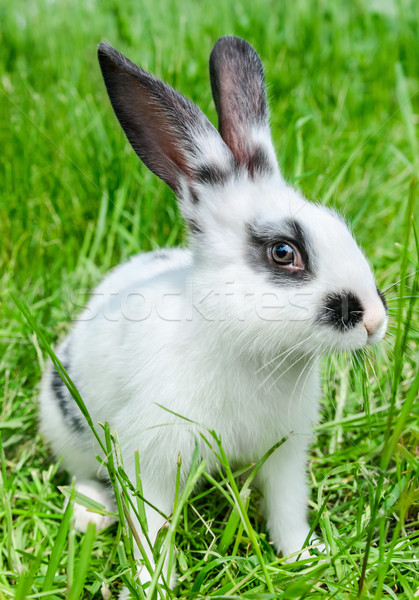 Rabbit sitting in grass, smiling at camera Stock photo © zeffss