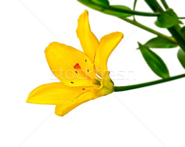 Citromsárga liliom virág fehér háttér szépség Stock fotó © zeffss