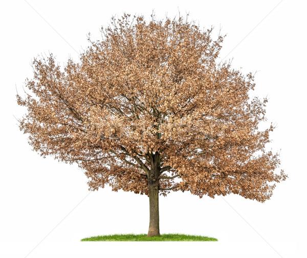isolated oak tree with autumn foliage Stock photo © Zerbor
