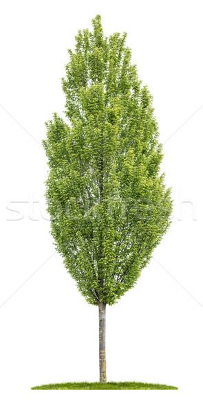 Isolated hornbeam tree on a white background Stock photo © Zerbor