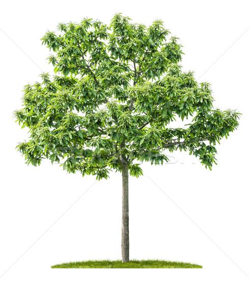 Izolált gesztenye fa fehér fa zöld Stock fotó © Zerbor