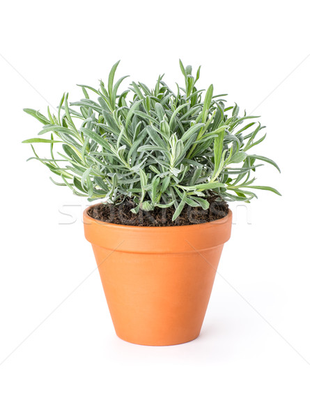 Lavender in a clay pot Stock photo © Zerbor