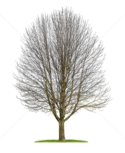 isolated horse chestnut tree in the winter Stock photo © Zerbor