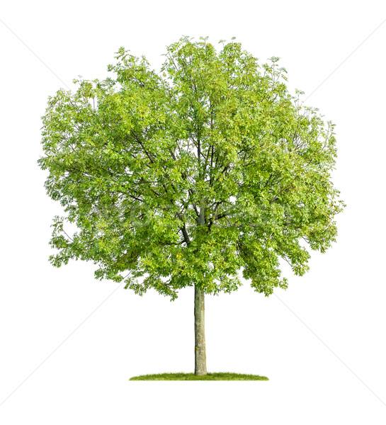 Geïsoleerd as boom witte blad leven Stockfoto © Zerbor