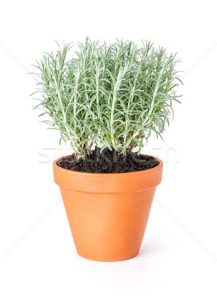 Italian immortelle in a clay pot Stock photo © Zerbor