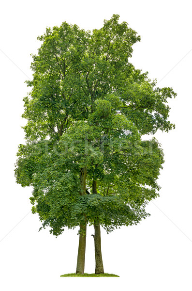 isolated maple tree on a white background Stock photo © Zerbor