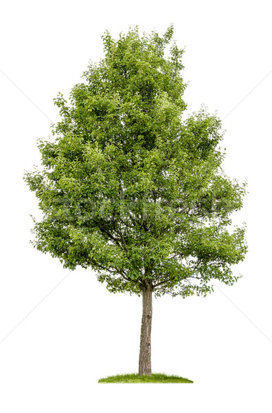 Yalıtılmış yaprak döken ağaç beyaz ahşap yeşil Stok fotoğraf © Zerbor