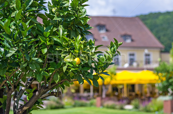 a lemon tree in a park Stock photo © Zerbor