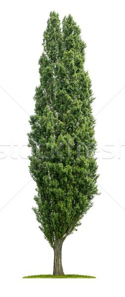 Odizolowany topola drzewo biały drewna zielone Zdjęcia stock © Zerbor