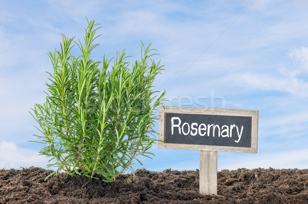 Rosemary in the garden with a wooden label Stock photo © Zerbor
