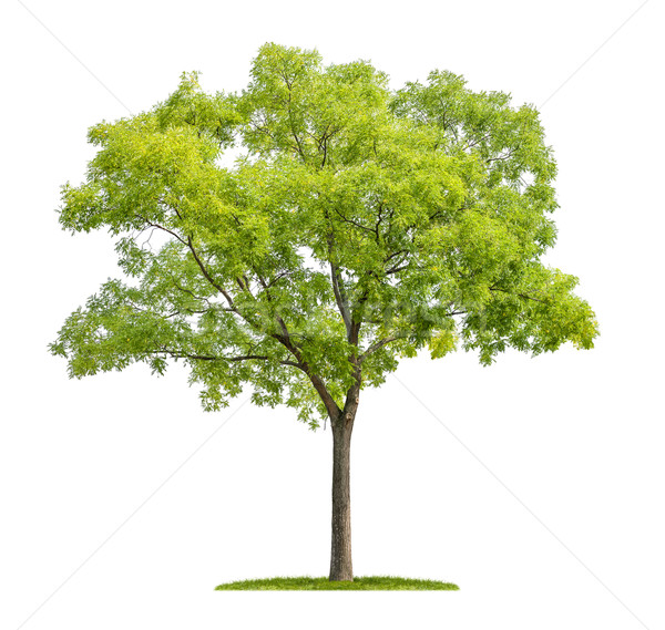 isolated pagoda tree on a white background Stock photo © Zerbor