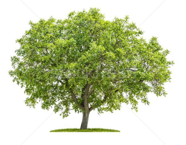Yalıtılmış ceviz ağaç beyaz ahşap yeşil Stok fotoğraf © Zerbor