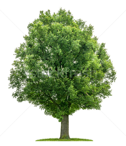isolated oak tree on a white background Stock photo © Zerbor