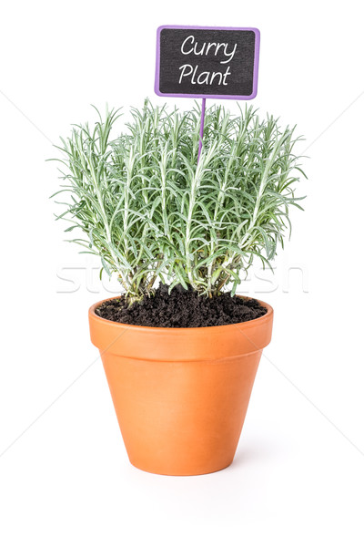 Curry plant in a clay pot with a wooden label Stock photo © Zerbor