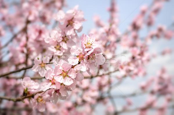 Amandel bloesem bloem boom blad Blauw Stockfoto © Zerbor