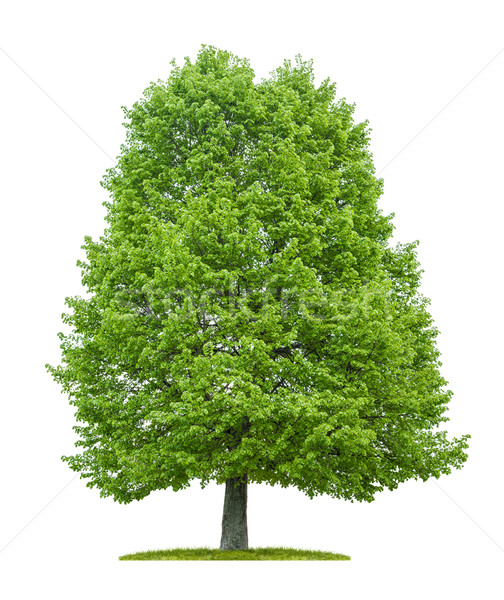 An isolated lime tree on a white background Stock photo © Zerbor