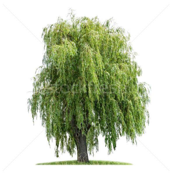 изолированный ива белый дерево древесины зеленый Сток-фото © Zerbor