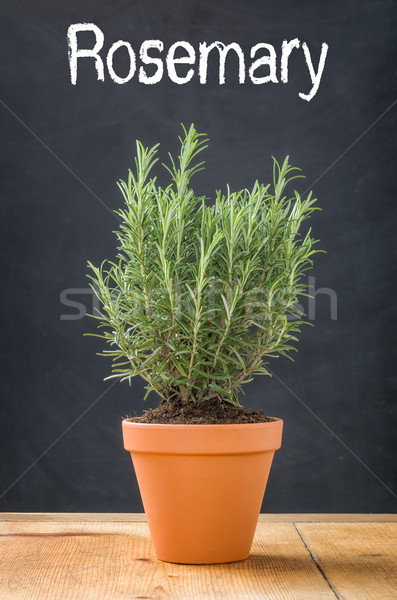 Rosemary in a clay pot on a dark background Stock photo © Zerbor