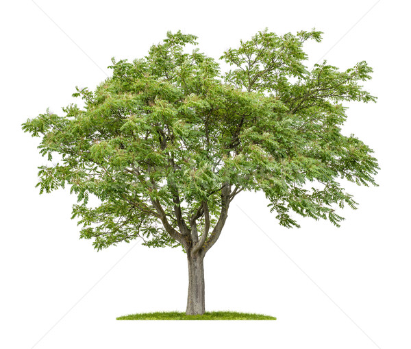 Isolated Ailanthus tree on a white background Stock photo © Zerbor