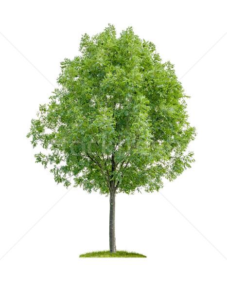 изолированный лиственный дерево белый древесины зеленый Сток-фото © Zerbor
