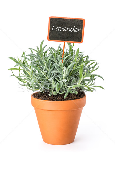 Lavender in a clay pot with a wooden label Stock photo © Zerbor