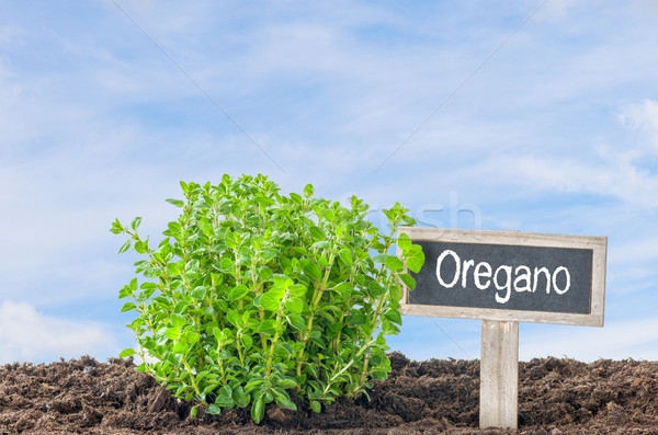 Oregano in the garden with a wooden label Stock photo © Zerbor