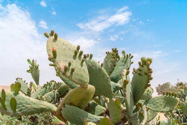 Thicket of cactus Tzabar Opuntia ficus-indica in Negev desert. Stock photo © Zhukow