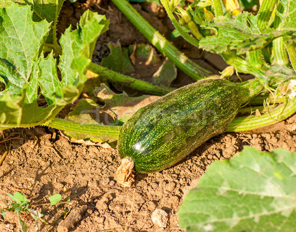 flowering zucchini in the vegetable garden Stock photo © Zhukow