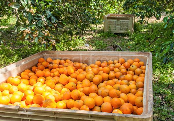 Dozen sinaasappelen tuin oogst voedsel boerderij Stockfoto © Zhukow