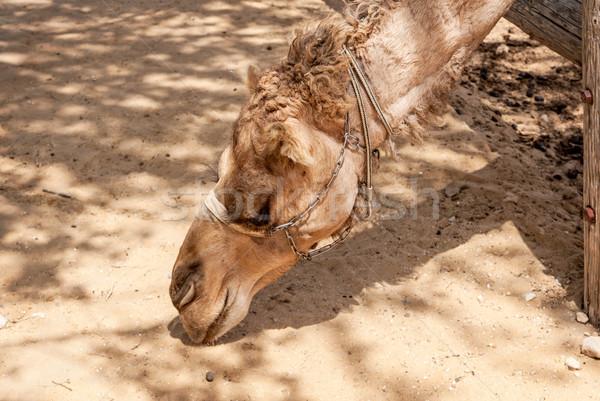 арабский верблюда голову пустыне Израиль природы Сток-фото © Zhukow